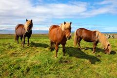 Tre isländska fjärdhästar Arkivbild