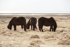 Tre isländska hästar på en äng Arkivbilder