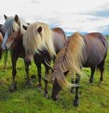 Tre isländska hästar på fjorden Arkivbild