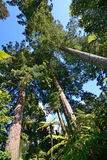 Tre jätte- redwoodträdträd Royaltyfri Fotografi