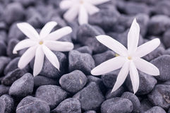 Tre jasminblommor på zen stenar upp slut Arkivfoton