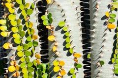 Tre kaktusväxter med den gröna sidaalluaudiaproceraen som bildar a vinande-som mellanrummet, closeupbild royaltyfria bilder