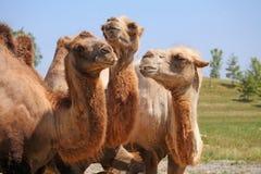 Tre kamel Arkivbilder