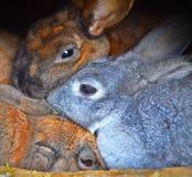 Tre kaniner, åtsittande omfamning, smyga sig med de arkivfoto