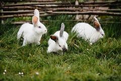 Tre kaniner i grönt gräs arkivbilder