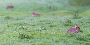 Tre kaniner i våräng Arkivbilder