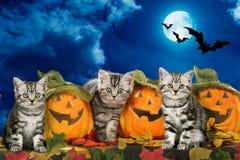 Tre katter bredvid pumpor halloween Royaltyfri Fotografi