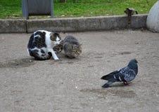 Tre katter jagar duvor, en plats på gatan, rovdjur på jakten arkivbild