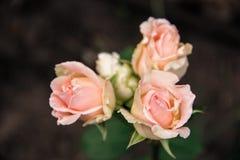 Tre knoppar av försiktigt rosa rosor Royaltyfria Bilder