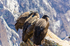 Tre kondor på Colca kanjonsammanträde, Peru, Sydamerika. Royaltyfria Bilder