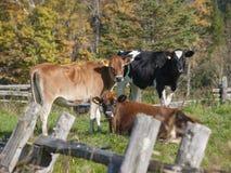 Tre kor i ett Vermont fält arkivbilder