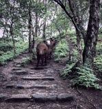 Tre kor som ner kommer några moment i en skogsmark arkivfoto