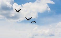 Tre kormoran som flyger under stackmolnmoln Arkivfoton
