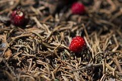 Tre lösa jordgubbar och några myror i en myrstack Arkivfoto
