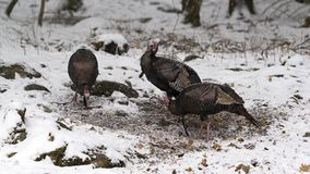 Tre lösa manliga kalkon i vintersnö fotografering för bildbyråer