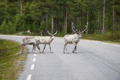 Tre lösa nordliga deers som korsar asfaltskogvägen, Norge Arkivfoton
