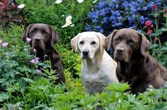 Tre labradors Royaltyfri Bild