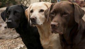 Tre labradors Immagini Stock