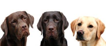 Tre labradors Fotografie Stock Libere da Diritti