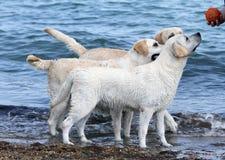Tre labradors vid havet Royaltyfri Fotografi