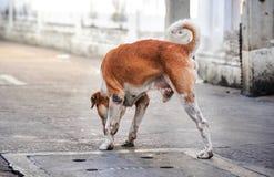 Tre lagd benen på ryggen blandad-avel hund, Royaltyfria Bilder