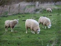 Tre lamm i årigt fält ett Arkivbilder