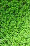 Tre Leafväxter av släkten Trifolium Arkivfoto