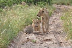 Tre lejoninnor som blockerar vägen arkivbild
