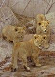 Tre leone Cubs Immagine Stock