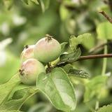 Tre lilla äpplen Arkivfoto