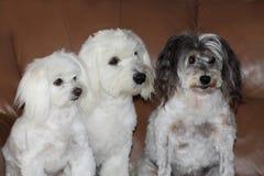 Tre lilla hundkapplöpning som håller ögonen på television Fotografering för Bildbyråer