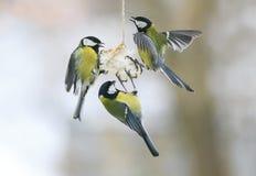 Tre lilla hungriga fågelmesar på fågelförlagemataren som äter fett arkivfoto