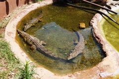 Tre lilla krokodiler i den stora pölen med vatten arkivfoton