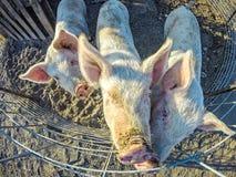 Tre lilla svin på lantgården Royaltyfri Bild