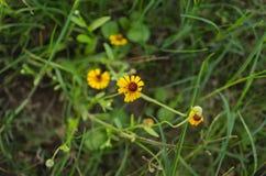 Tre lilla under av gult fält som omges av grönt gräs royaltyfria foton