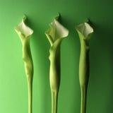 Tre lillies verdi Fotografia Stock