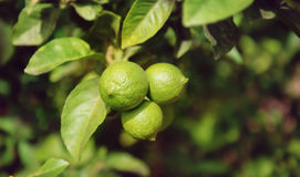Tre limefrukter på trädet Royaltyfri Fotografi