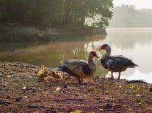 Tre lite ducklings och fostrar anden Fotografering för Bildbyråer