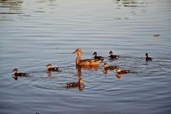 Tre lite ducklings och fostrar anden Arkivbild