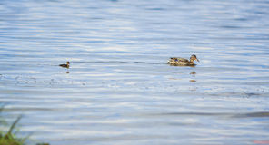 Tre lite ducklings och fostrar anden Arkivfoton