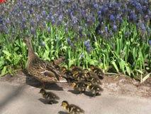 Tre lite ducklings och fostrar anden Royaltyfria Bilder