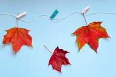 Tre ljusa kulöra lönnlöv fästas med klädnypor till repet ett av dem nedgångar Begreppet av hösten avslutning royaltyfri fotografi