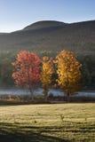 Tre ljust färgade lönnträd i höst i Catskill berg royaltyfri bild
