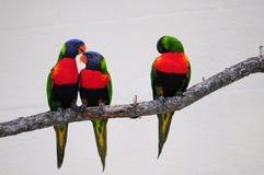 Tre Lorikeet fåglar på filial Arkivfoto