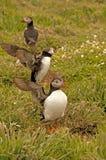 Tre lunnefåglar nära gräver fraterculaarctica Fotografering för Bildbyråer