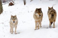 Tre lupi Fotografia Stock Libera da Diritti