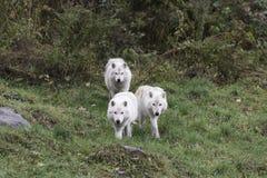 Tre lupi artici Fotografia Stock