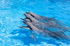 Tre lyckliga delfin som ser ut ur slutet för blått vatten upp royaltyfri fotografi