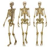 Tre mänskliga skelett som isoleras på vit Arkivfoto
