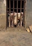 Tre maiali che attaccano fuori i loro nasi dietro le barre ad un'azienda agricola Fotografia Stock Libera da Diritti